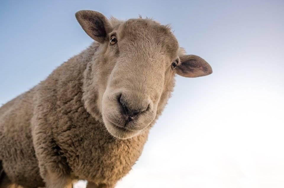 nombres de ovejas