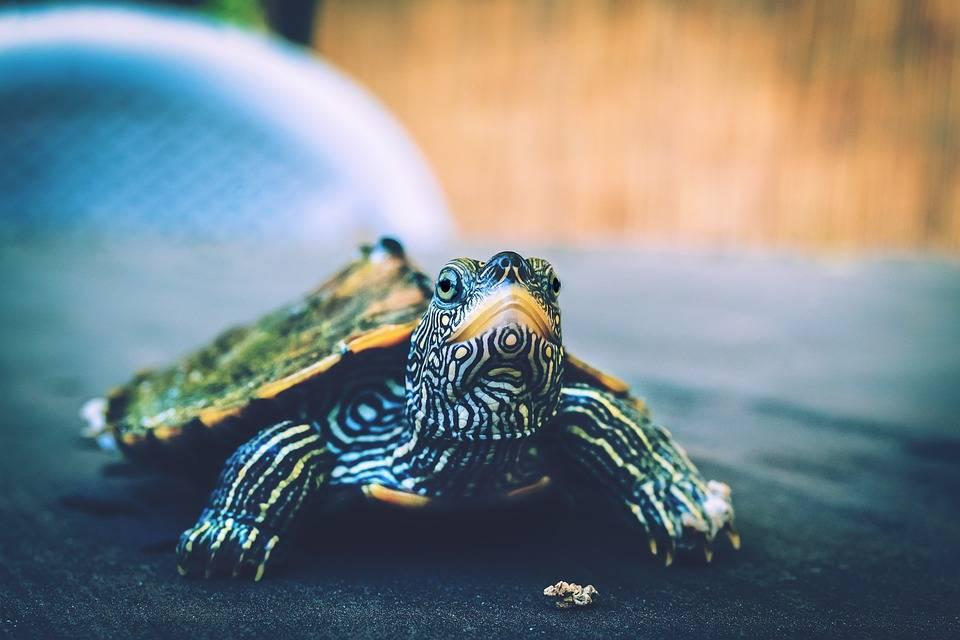 nombres de tortugas originales